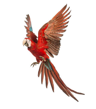 bird view: Green-winged Macaw, Ara chloropterus, 1 year old, flying in front of white background