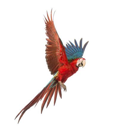 Green-winged Macaw, Ara chloropterus, 1 an, battant en face de fond blanc Banque d'images - 18179731