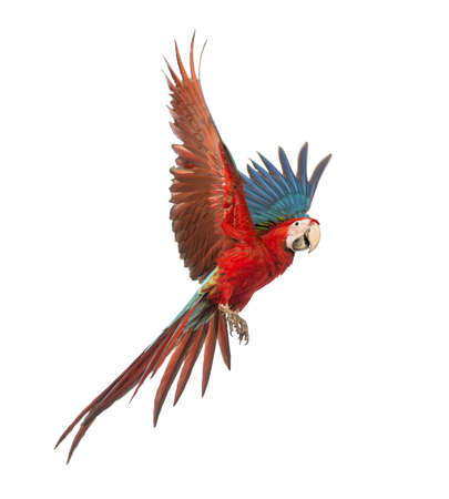 birds flying: Green-winged Macaw, Ara chloropterus, 1 year old, flying in front of white background