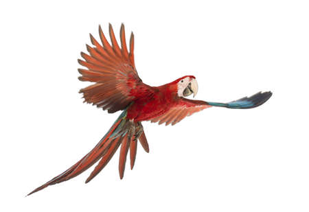flying bird: Green-winged Macaw, Ara chloropterus, 1 year old, flying in front of white background