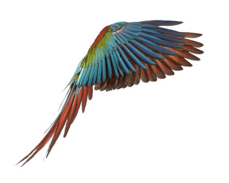 guacamaya: Green-winged Macaw, Ara chloropterus, 1 año, volando delante de fondo blanco