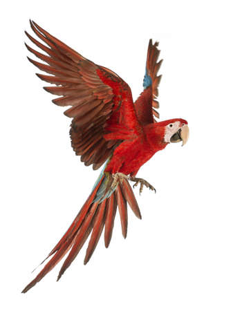 Green-winged Macaw, Ara chloroptera, 1 anno di età, in volo di fronte a sfondo bianco