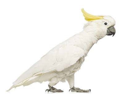 cockatoo: Sulphur-crested Cockatoo, Cacatua galerita, 30 years old, walking in front of white background Stock Photo