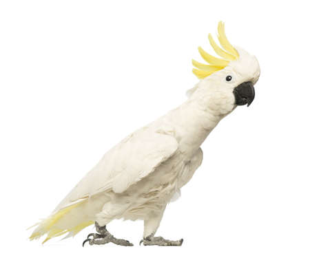 cockatoo: Sulphur-crested Cockatoo, Cacatua galerita, 30 years old, with crest up in front of white background