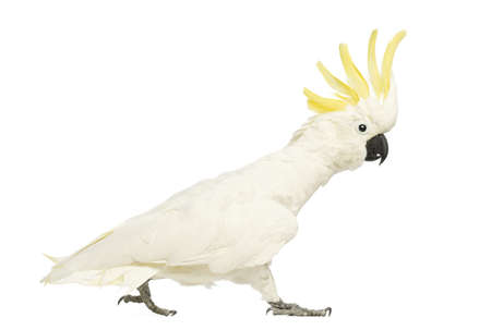 sulphur: Sulphur-crested Cockatoo, Cacatua galerita, 30 years old, walking with crest up in front of white background