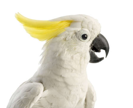 cockatoo: Sulphur-crested Cockatoo, Cacatua galerita, 30 years old, in front of white background