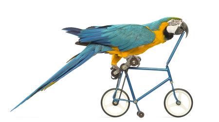 ararauna: Vista lateral de un guacamayo azul y amarillo, Ara ararauna, 30 a�os, andar en bicicleta azul delante de fondo blanco Foto de archivo