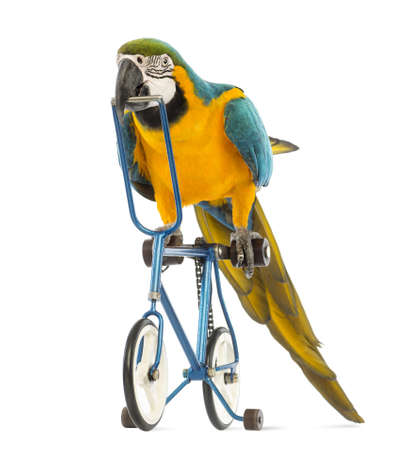 Blue-and-yellow Macaw, Ara ararauna, 30 years old, riding a blue bicycle in front of white background