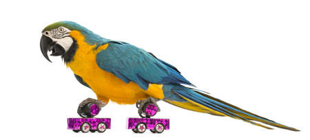 one animal: Blue-and-yellow Macaw, Ara ararauna, 30 years old, roller skating in front of white background