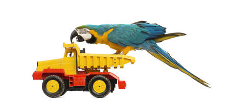 Blue-and-yellow Macaw, Ara ararauna, 30 years old, riding a truck, lorry in front of white background photo