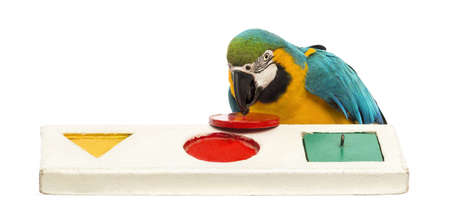 Blue-and-yellow Macaw, Ara ararauna, 30 years old, playing with a puzzle in front of white background photo
