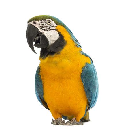 ararauna: Blue-and-yellow Macaw, Ara ararauna, de 30 a�os de edad, delante de fondo blanco