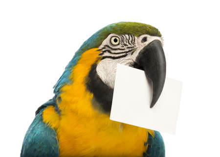 Close-up of a Blue-and-yellow Macaw, Ara ararauna, 30 years old, holding a white card in its beak in front of white background photo