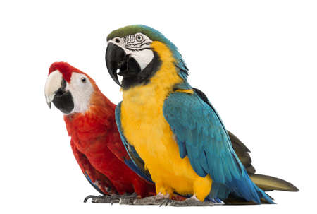 30 year old: Blue-and-yellow Macaw, Ara ararauna, 30 years old, and Green-winged Macaw, Ara chloropterus, 1 year old, in front of white background Stock Photo