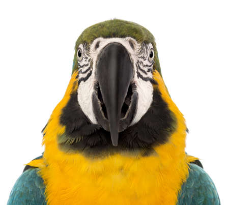 Front view close-up of a Blue-and-yellow Macaw, Ara ararauna, 30 years old, in front of white background photo