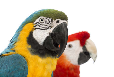 Close-up of a Blue-and-yellow Macaw, Ara ararauna, 30 years old, and Green-winged Macaw, Ara chloropterus, 1 year old, in front of white background photo