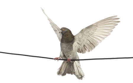 Pigeon perched on an electric wire with its wings spread in front of white background photo