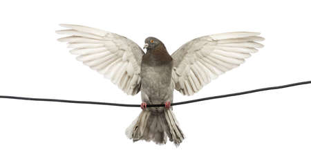 white pigeon: Pigeon perched on an electric wire with its wings spread in front of white background
