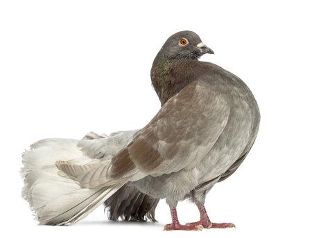 pigeons: Vue de c�t� d'un comit� permanent Pigeon en face de fond blanc