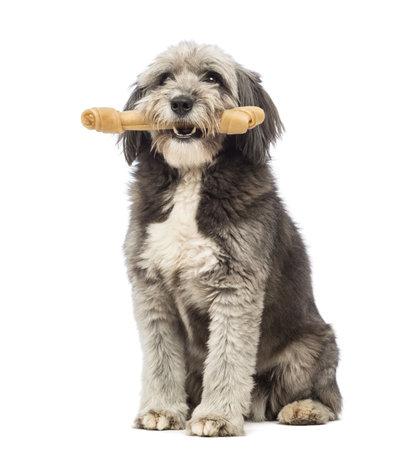 hueso de perro: Cruce, de 4 años, sentado y sosteniendo un hueso de su boca delante de fondo blanco