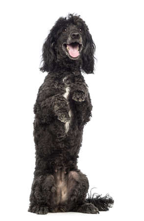 Poodle, 5 years old, in front of white background photo