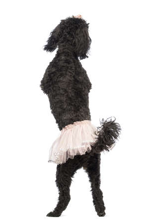 Rear view of a Poodle, 5 years old, standing, dancing and wearing a pink tutu in front of white background photo