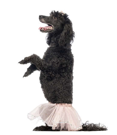 Poodle, 5 years old, standing on hind legs, wearing a pink tutu and looking up in front of white background photo