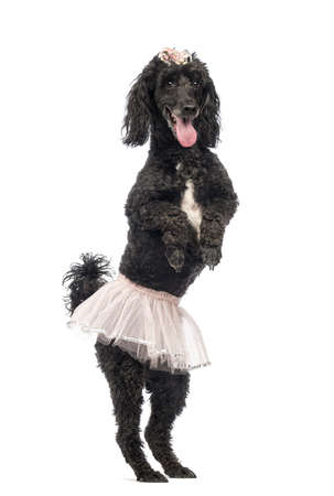 Poodle, 5 years old, standing, dancing, wearing a pink tutu and panting in front of white background photo