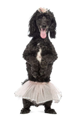 Poodle, 5 years old, standing on hind legs, wearing a pink tutu and panting in front of white background photo