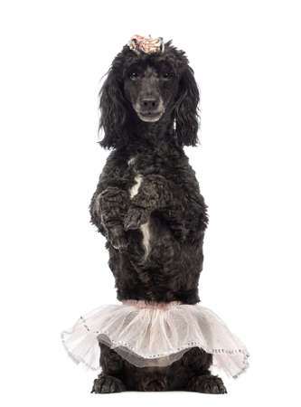 Poodle, 5 years old, standing on hind legs, wearing a pink tutu and looking at the camera in front of white background photo