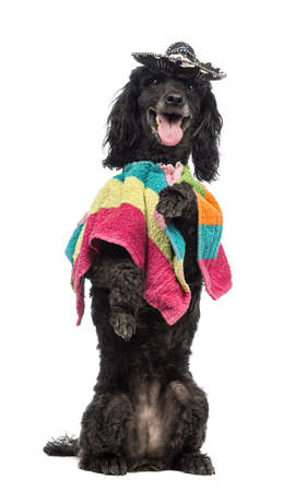 Poodle, 5 years old, standing on hind legs, wearing a poncho and a sombrero and panting in front of white background photo