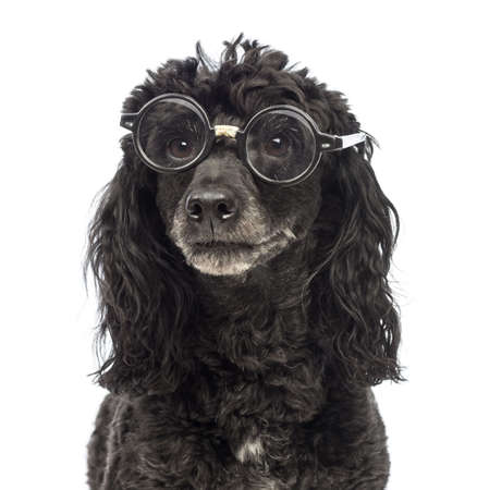 Close-up of a Poodle, 5 years old, wearing glasses repaired with tape in front of white background photo