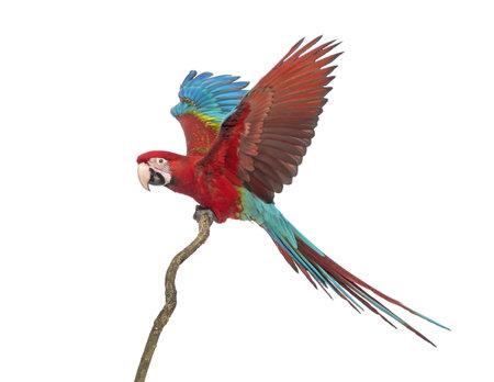 guacamaya: Green-winged Macaw, Ara chloropterus, 1 año, encaramado en la rama delante de fondo blanco Foto de archivo