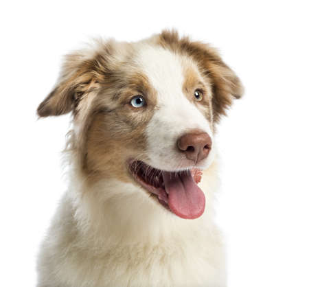 Close-up of an Australian shepherd puppy, 4 months old, against white background photo
