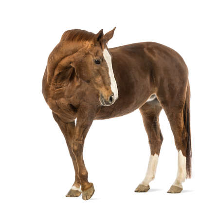 domestic horses: Horse looking back in front of white background