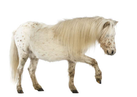 cut outs: Side view of a Shetland stretching its leg in front of white background