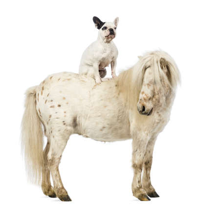 shetland pony: Shetland with a French bulldog sitting on its back in front of white background