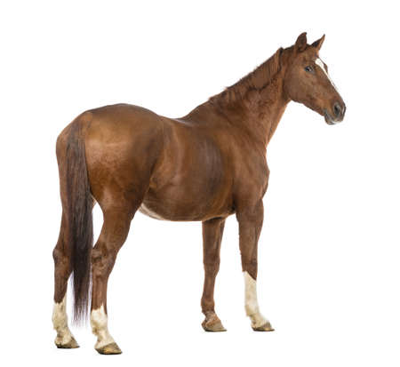 one animal: Rear view of a Horse looking back in front of white background Stock Photo