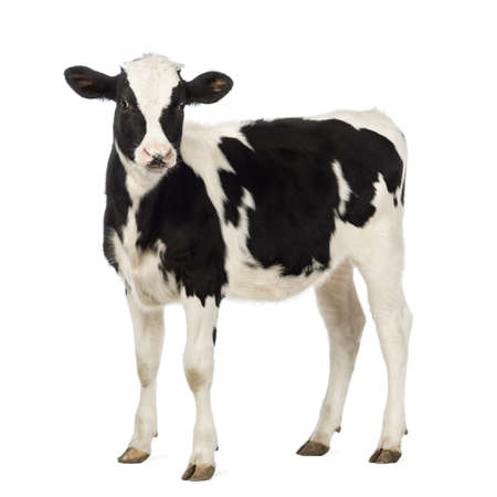 calves: Veal, 8 months old, looking at the camera in front of white background Stock Photo