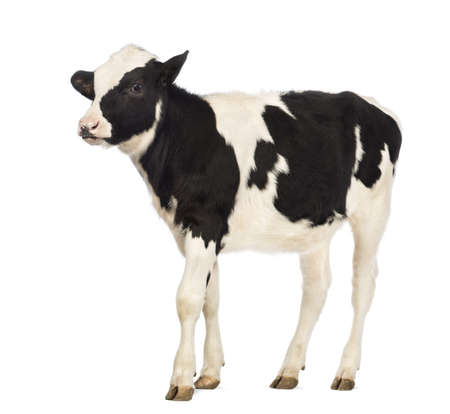 calf: Veal, 8 months old, in front of white background