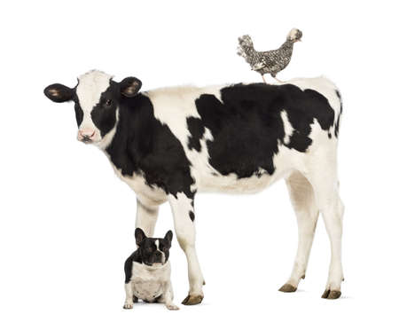 Veal, 8 months old, standing with a Polish chicken standing on its back and a French bulldog sitting under him in front of white background Stock Photo - 18179449