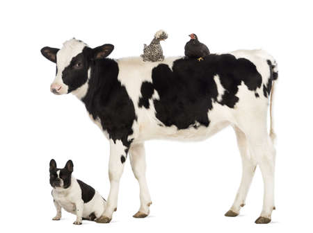 Veal, 8 months old, standing with a Polish chicken and a hen lying on its back and a French bulldog sitting under him in front of white background Stock Photo - 18179419