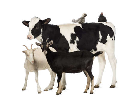 Veal, 8 months old, standing with a Polish chicken and a hen lying on its back and two goats standing in front of him in front of white background photo