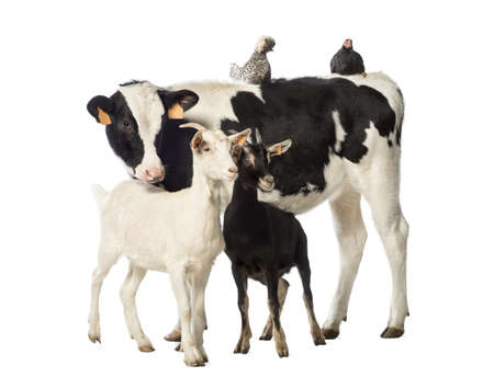 animales de granja: Veal, 8 meses de edad, de pie con un pollo y una gallina polaco acostado sobre su espalda y dos cabras de pie delante de �l delante de fondo blanco