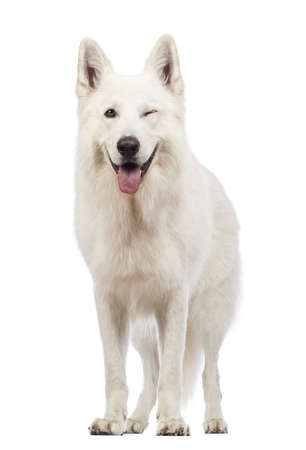mischief: Swiss Shepherd dog, 5 years old, panting and winking, blinking in front of white background Stock Photo