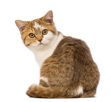 british shorthair: Rear view of a British Shorthair kitten, 3.5 months old, sitting and looking at the camera in front of white background
