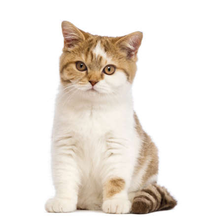 british shorthair: British Shorthair kitten, 3.5 months old, sitting and looking at the camera in front of white background