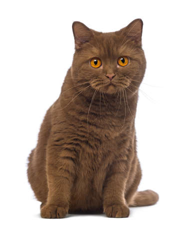 british shorthair: British Shorthair, 20 months old, sitting and looking at the camera in front of white background