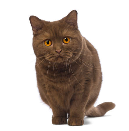 british shorthair: British Shorthair, 20 months old, standing and looking at the camera in front of white background