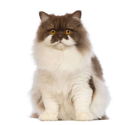 longhair: British Longhair, 10 months old, sitting and looking at the camera in front of white background Stock Photo